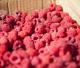 Bogyós gyümölcstermesztés (Berkenye)
